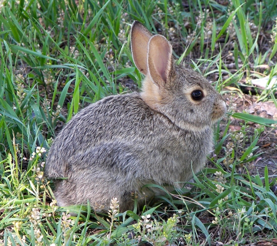 Rabbit_in_montana