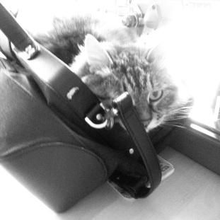 cat in purse