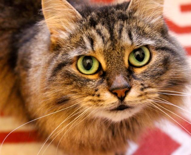 beautiful Siberian cat #miaprimacasa