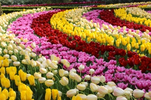 Holland Tulips #100daysofmiaprima