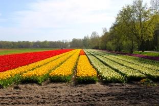 Holland Tulip Fields #100daysofMiaPrima
