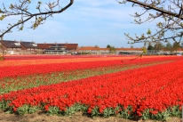 Holland Tulip Fields #100daysofMiaPrima